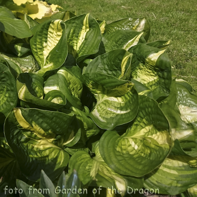 Hosta Center Of Attention