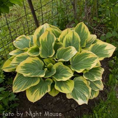 Hosta Clifford`s Forest Fire