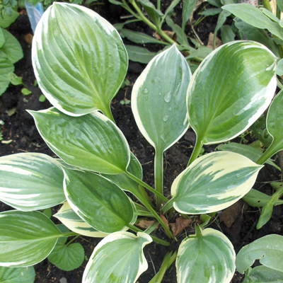 Hosta Crusader