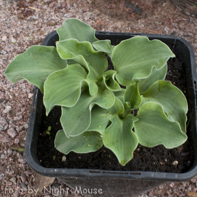 Hosta Dancing Mouse