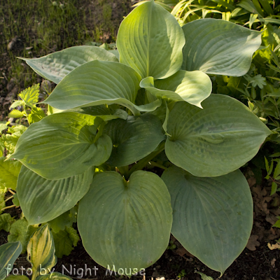 Hosta Essence Of Summer