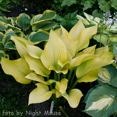 Hosta Fort Knox
