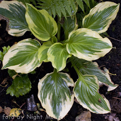 Hosta Lakeside Kaleidoscope