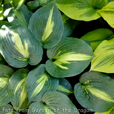 Hosta Lakeside Shore Master