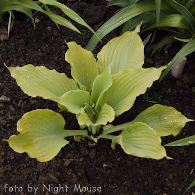 Hosta Maya Swingtime