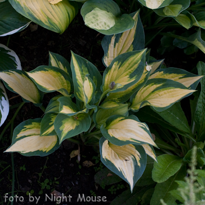 Hosta Orange Marmalade