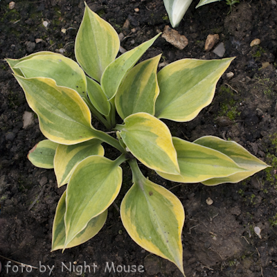 Hosta Pamela Lee