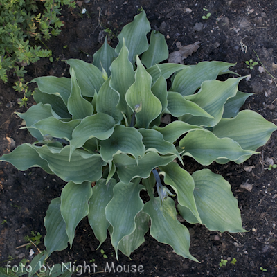 Hosta Reptillian