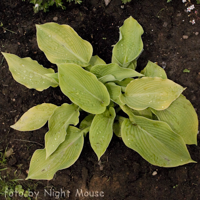 Hosta Rosedale Golden Goose