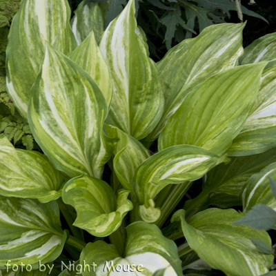 Hosta Savannah Supreme