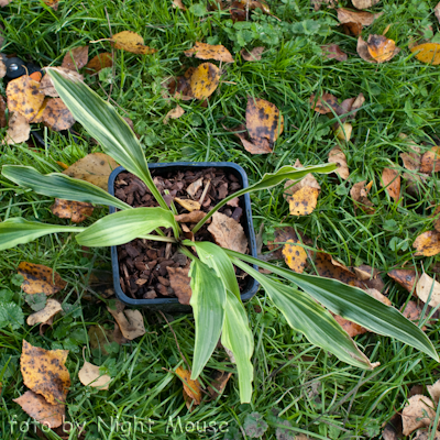 Hosta Spiked Punch