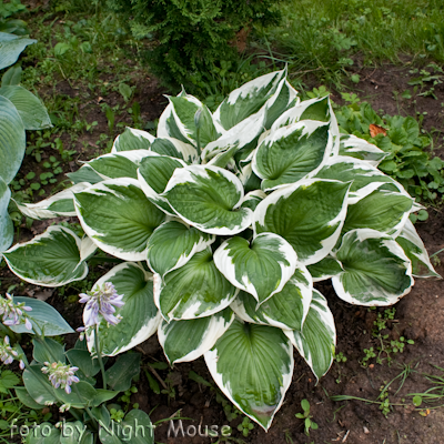 Hosta Zager`s White Edge