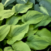 Hosta Alvatine Taylor