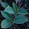 Hosta Blue Chip