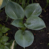 Hosta Blue Dolphin
