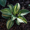 Hosta Blue Mouse Ears Streaked
