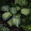 Hosta Borwick Beauty