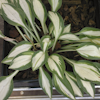 Hosta Cat`s Eye