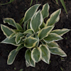 Hosta Chantilly Lace