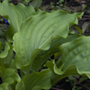 Hosta Clovelly