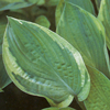 Hosta Collector`s Banner