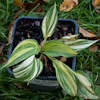 Hosta Confused Angel