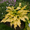 Hosta Dab a Green