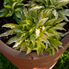 Hosta Dragon Tails