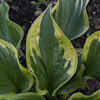 Hosta Dust Devil