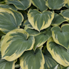 Hosta Earth Angel