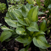 Hosta Emerald Necklace