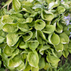 Hosta Eye Catcher