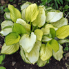 Hosta Fan Dance