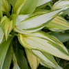 Hosta First Love