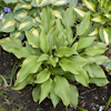 Hosta Fool`s Gold