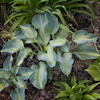 Hosta Forncett Frances