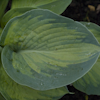 Hosta George Smith
