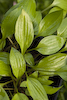 Hosta Gingee