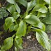 Hosta Green Flash