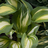 Hosta Hollywood Lights