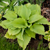 Hosta Jimmy Crack Corn