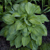 Hosta Julie Morss