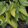 Hosta Kiwi Blue Flash