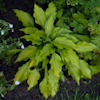 Hosta Lady Guinevere
