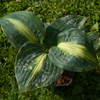 Hosta Lakeside Beach Captain