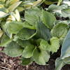 Hosta Lakeside Black Satin