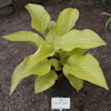 Hosta Lemon Ice
