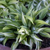 Hosta Little Caesar