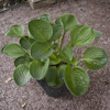 Hosta Little Hobber