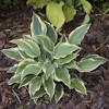 Hosta My Claire